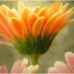 poza_floare_sofran