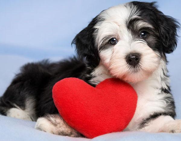 afectiuni-inima-caini